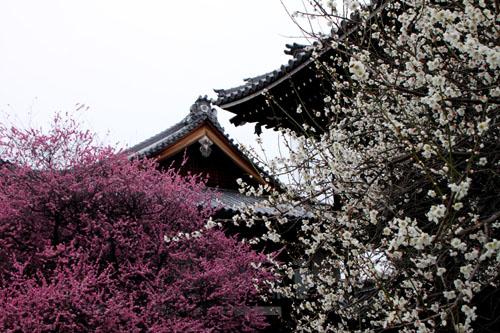 興正寺の紅白梅_e0048413_2242249.jpg