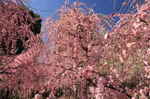 城南宮の梅と椿 雅の世界  京都_d0055236_18364946.jpg
