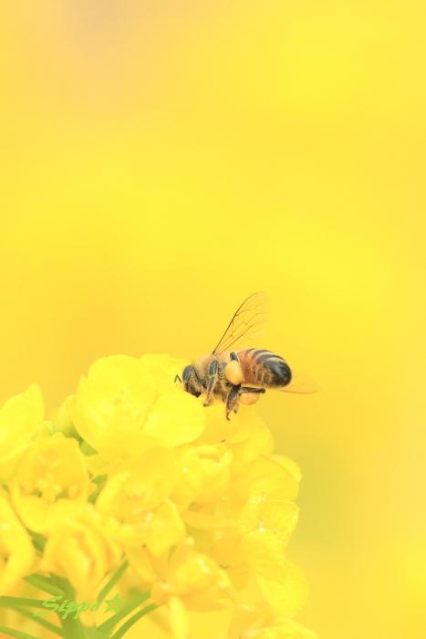 ■■ 春一番の働き者 ~ミツバチ~ 2 ■■_c0195662_2231776.jpg
