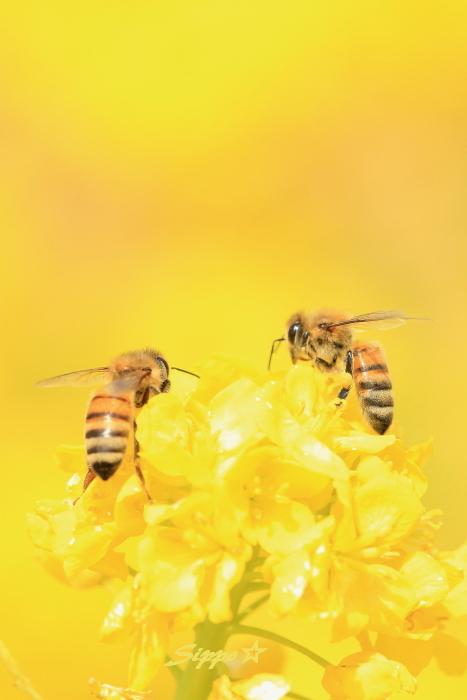 ■■ 春一番の働き者 ~ミツバチ~ 2 ■■_c0195662_2232657.jpg