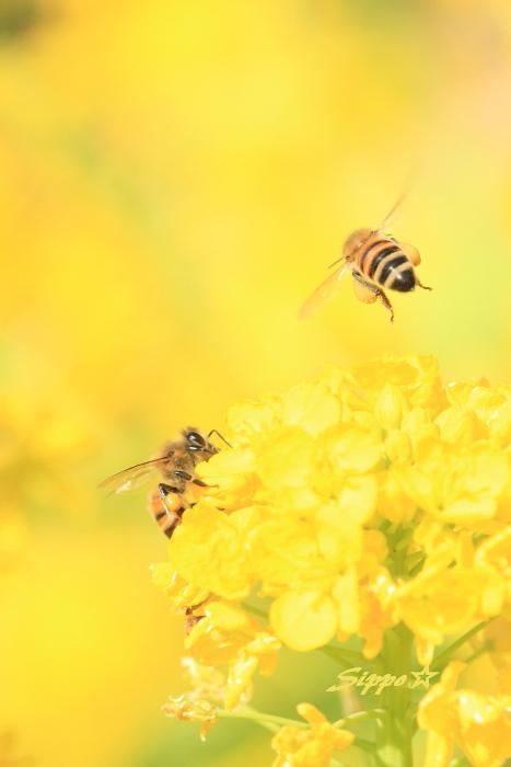 ■■ 春一番の働き者 ~ミツバチ~ 2 ■■_c0195662_2233649.jpg