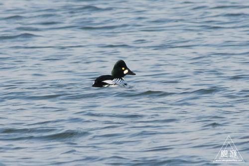 159 鳥ヶ崎 ~宍道湖の水鳥~_c0211532_22224351.jpg