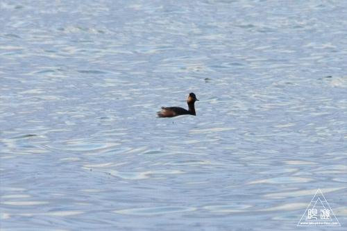 159 鳥ヶ崎 ~宍道湖の水鳥~_c0211532_22333199.jpg