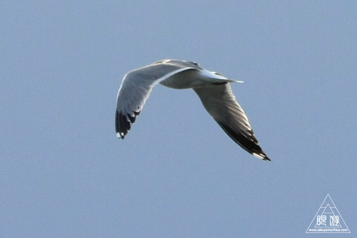 159 鳥ヶ崎 ~宍道湖の水鳥~_c0211532_223407.jpg