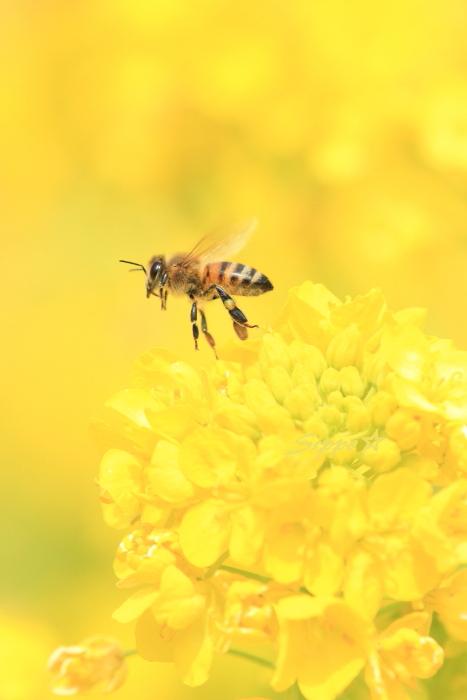 ■■ 春一番の働き者 ~ミツバチ~ 3 ■■_c0195662_2251142.jpg