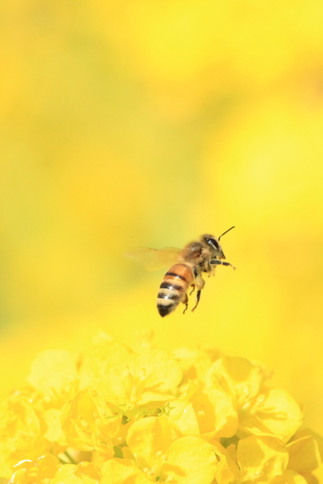 ■■ 春一番の働き者 ~ミツバチ~ 3 ■■_c0195662_225122100.jpg