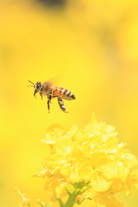■■ 春一番の働き者 ~ミツバチ~ 3 ■■_c0195662_22513266.jpg