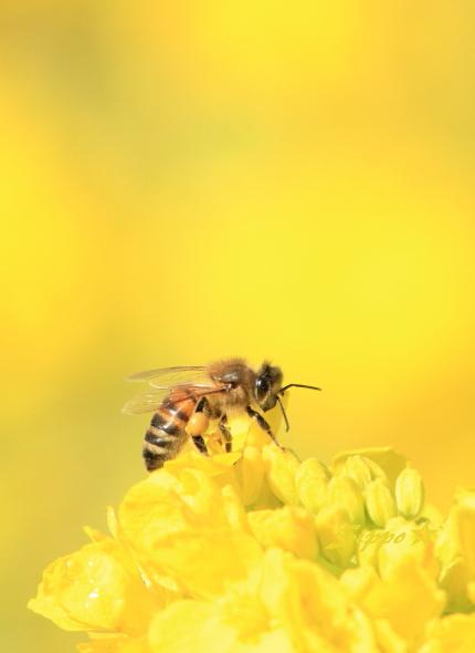 ■■ 春一番の働き者 ~ミツバチ~ 3 ■■_c0195662_22514040.jpg