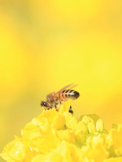 ■■ 春一番の働き者 ~ミツバチ~ 3 ■■_c0195662_22514933.jpg