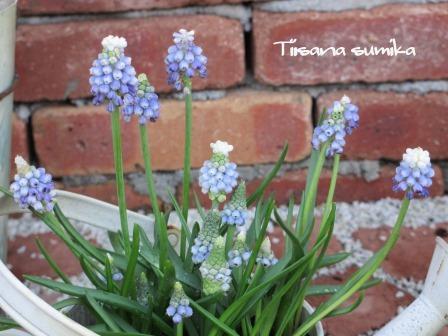 春の訪れに誘われてガーデニング♪(2)_a0243064_2045519.jpg