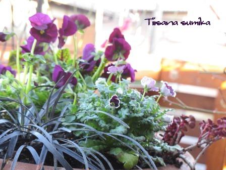 春の訪れに誘われてガーデニング♪(2)_a0243064_2095155.jpg