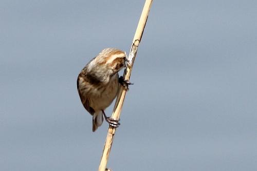 ★先週末の鳥類園(2013.3.9~10)_e0046474_11211621.jpg