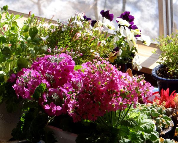 猫部屋の花たち 岩木山など_a0136293_16102428.jpg