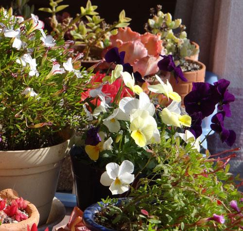 猫部屋の花たち 岩木山など_a0136293_1612051.jpg