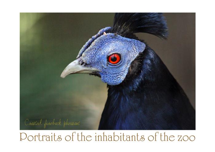 コシアカキジ:Crested fireback pheasant_b0249597_5264818.jpg