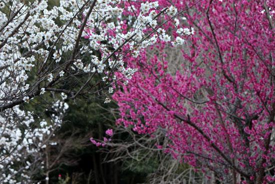 嵐山亀山公園 紅白梅_e0048413_2154768.jpg