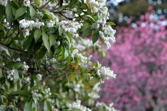 嵐山亀山公園 紅白梅_e0048413_2155813.jpg
