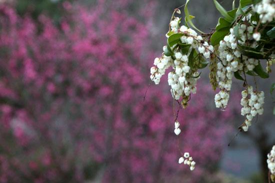 嵐山亀山公園 紅白梅_e0048413_2161190.jpg