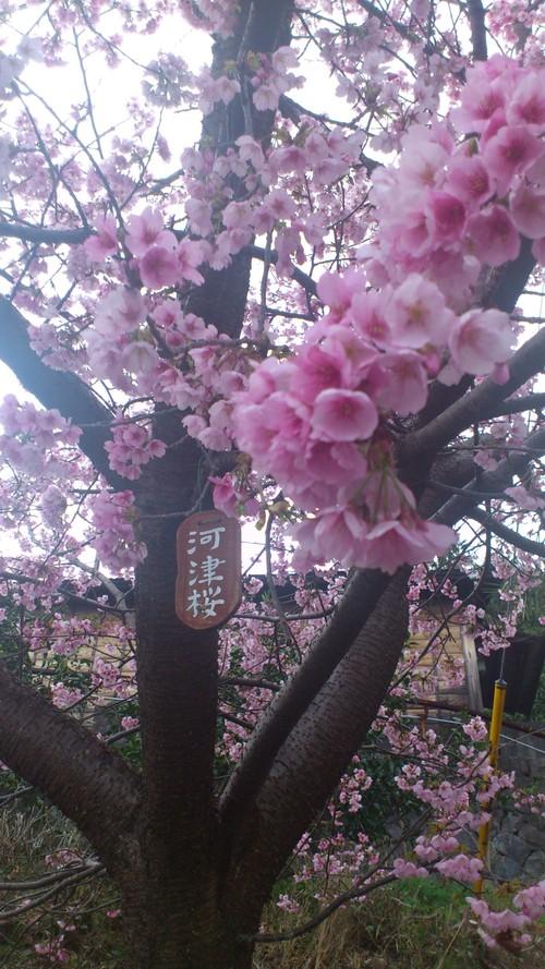 桜のピンクがとても目に嬉しいですね。_e0131324_120419.jpg