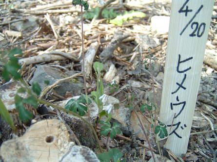 ヒメウズ  in   孝子の森   by   (岡田)_c0239329_0514683.jpg