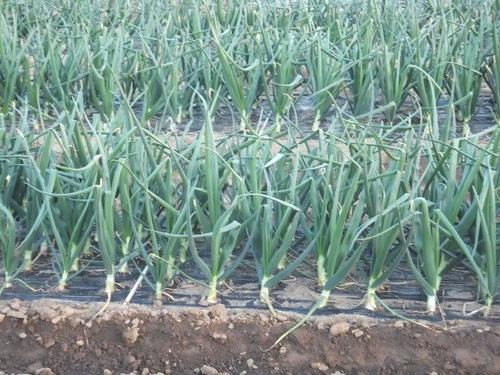 玉ねぎは元気に急成長中です。_b0137932_196351.jpg