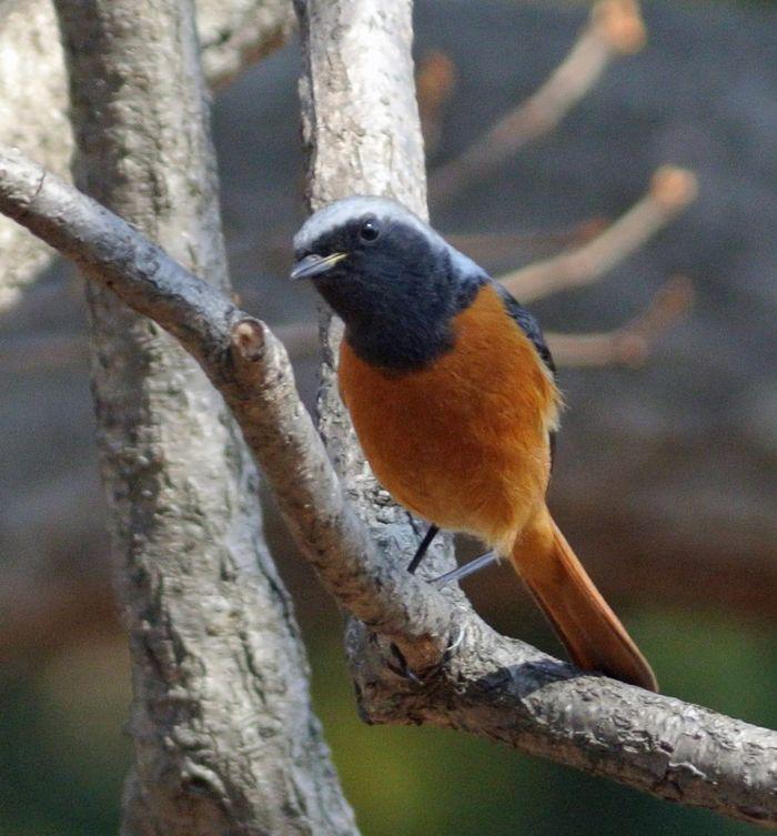 今日の鳥見、ひさしぶりにジョウビタキ_e0089232_11185455.jpg