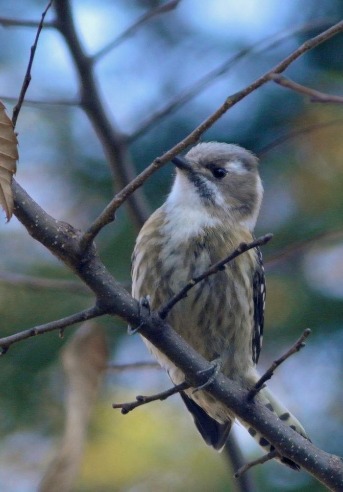 今日の鳥見、ひさしぶりにジョウビタキ_e0089232_11195248.jpg