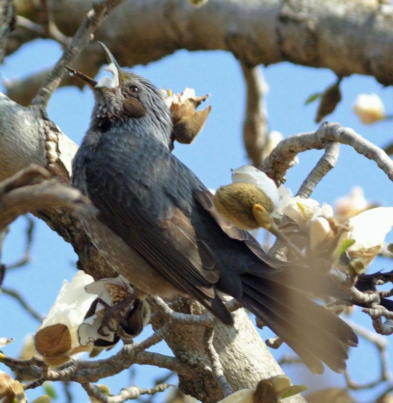 今日の鳥見、ひさしぶりにジョウビタキ_e0089232_11204633.jpg