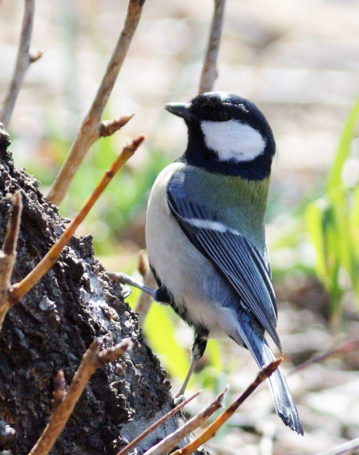今日の鳥見、ひさしぶりにジョウビタキ_e0089232_1120732.jpg