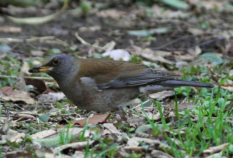 今日の鳥見、ひさしぶりにジョウビタキ_e0089232_1123302.jpg