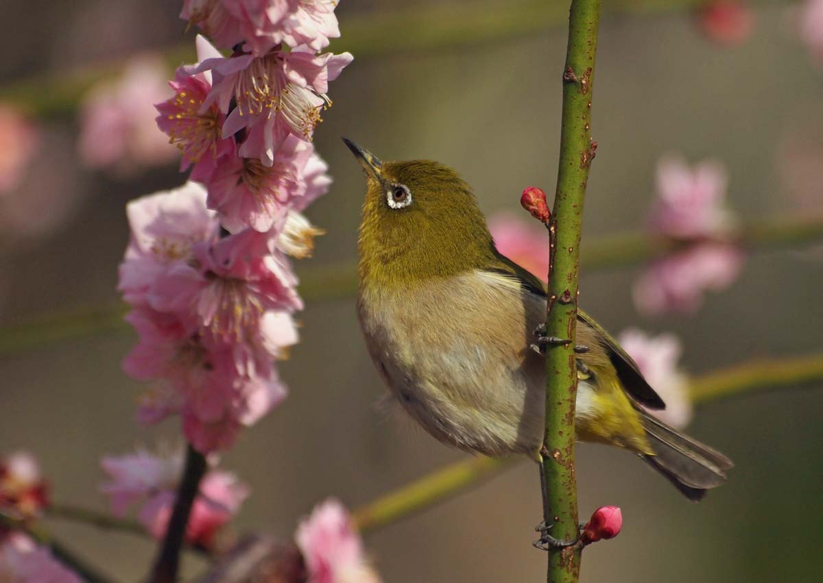 梅にメジロはウメジロウ_e0022047_22384855.jpg