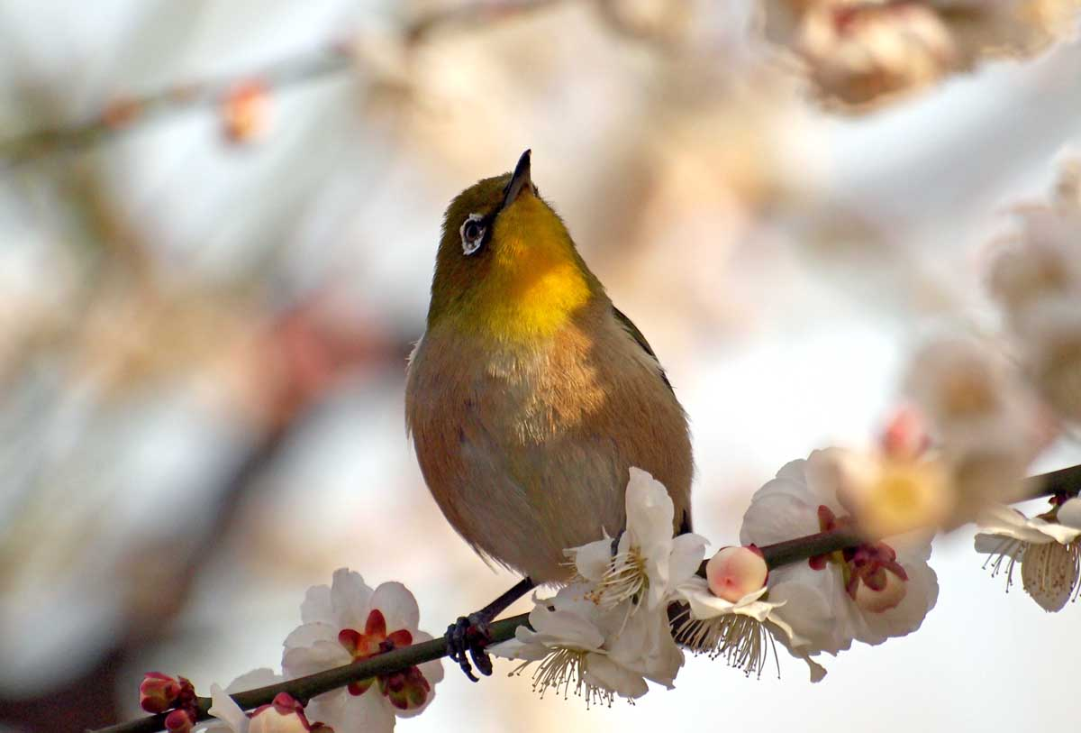 梅にメジロはウメジロウ_e0022047_22391889.jpg