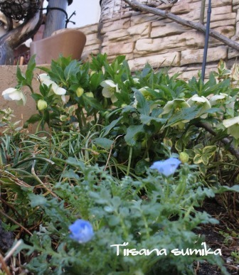 春の訪れに誘われてガーデニング♪(3)_a0243064_22431868.jpg