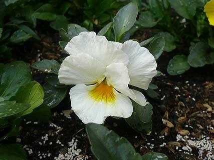 よく咲くスミレ ミルクセーキ 咲きました_d0020309_15321540.jpg