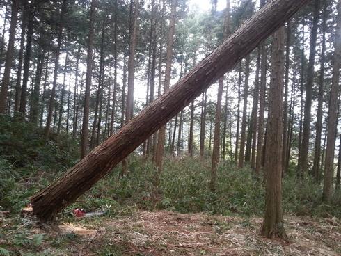 らっきょ木、ぶった切った_d0190318_189842.jpg