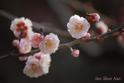 京都 御所の梅 2013年3月16日_a0164068_0424894.jpg