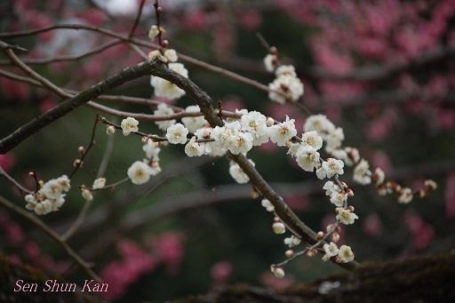 京都 御所の梅 2013年3月16日_a0164068_0432440.jpg