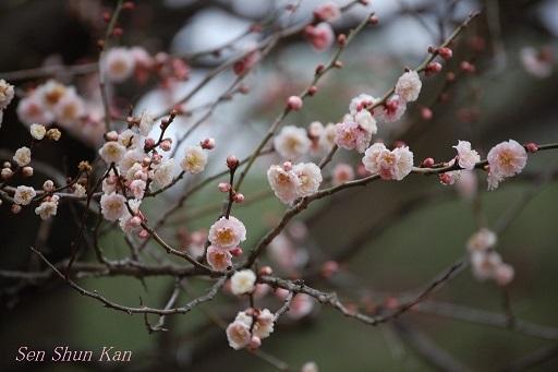京都 御所の梅 2013年3月16日_a0164068_0442920.jpg