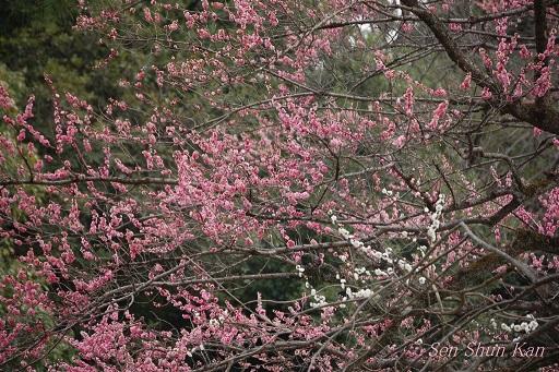 京都 御所の梅 2013年3月16日_a0164068_0464539.jpg