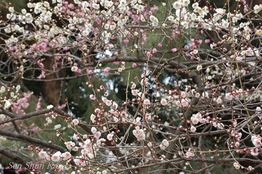 京都 御所の梅 2013年3月16日_a0164068_0482684.jpg