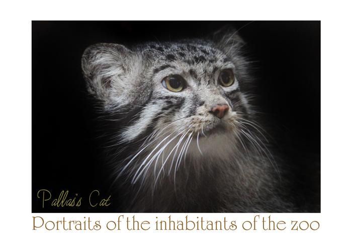 マヌルネコ:Pallas\'s Cat_b0249597_7595066.jpg