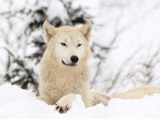 仔オオカミのじゃれあい_c0155902_19273522.jpg