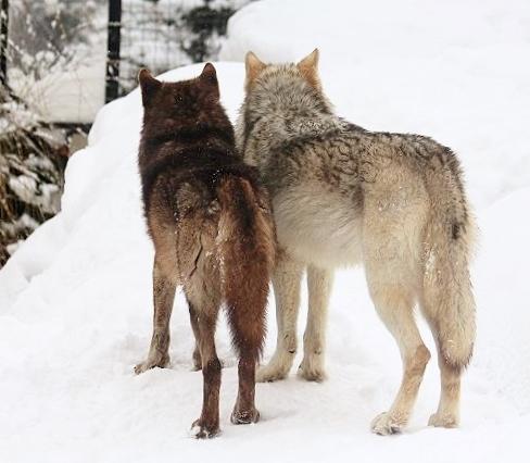 仔オオカミのじゃれあい_c0155902_19284832.jpg