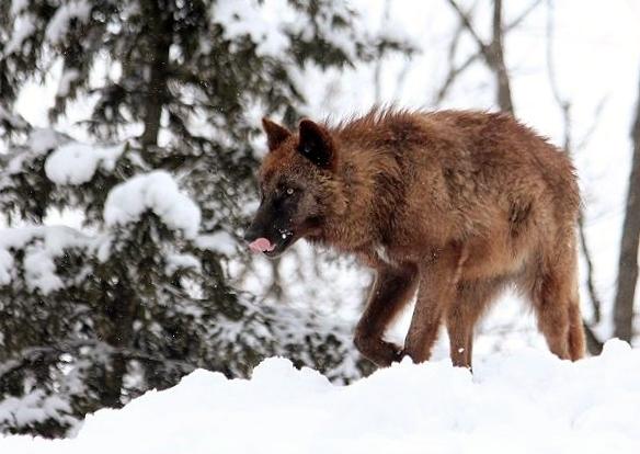 仔オオカミのじゃれあい_c0155902_1932992.jpg