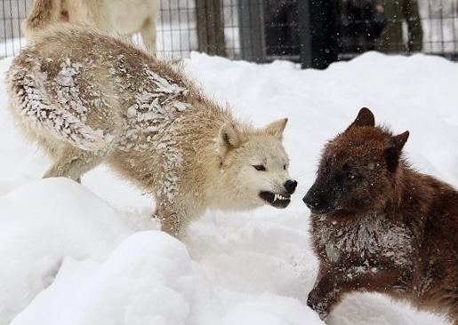 仔オオカミのじゃれあい_c0155902_19354913.jpg