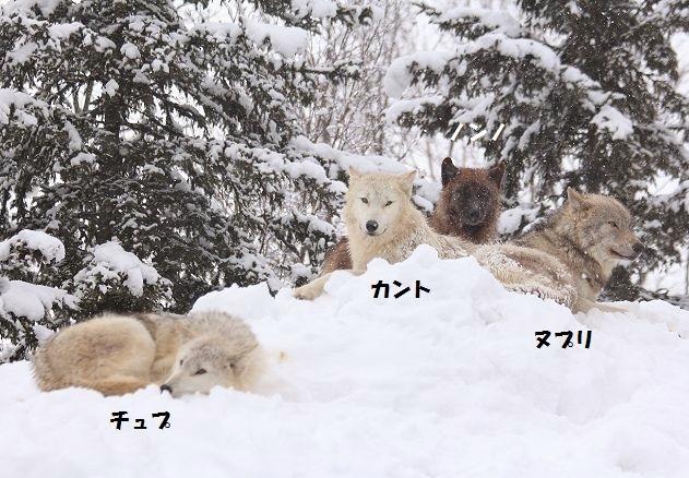 仔オオカミのじゃれあい_c0155902_193722100.jpg