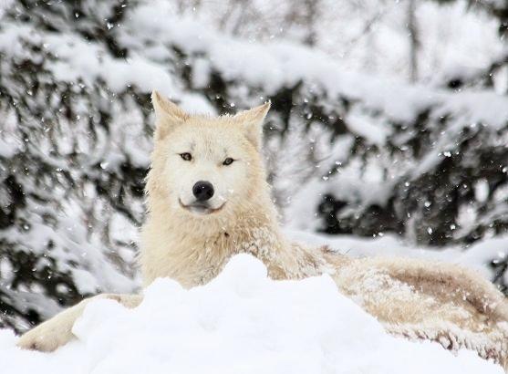 仔オオカミのじゃれあい_c0155902_1938724.jpg