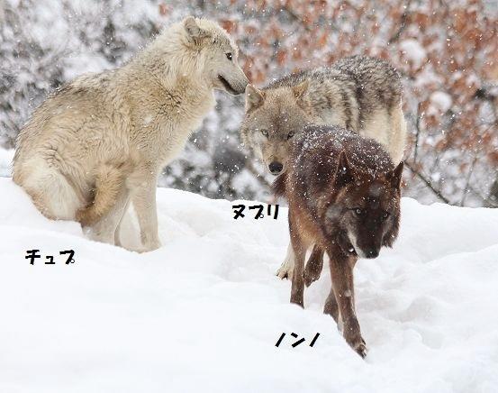 仔オオカミのじゃれあい_c0155902_1939385.jpg
