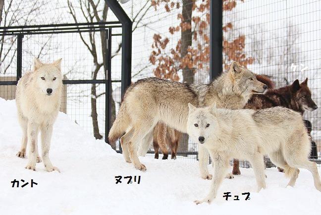 仔オオカミのじゃれあい_c0155902_2074018.jpg