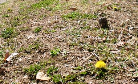 春を探しに ~白いタンポポ~_f0163105_1494682.jpg